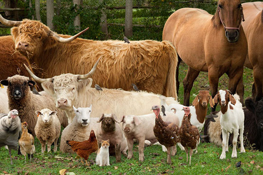 bentonite animal feed for cattle sheep chicken